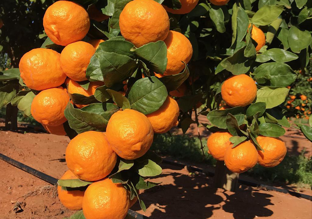 Trade With Us - Summerina Mandarins